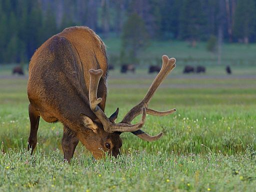An Elk in Yellowstone National Park. Image by By Jon Sullivan via Wikimedia Commons.