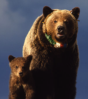 Grizzly bear sow & cub with radio neckband in Yellowstone National Park. Image By John Good/NPS via Wikimedia Commons.